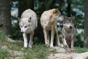 Wolves | Pixabay Image