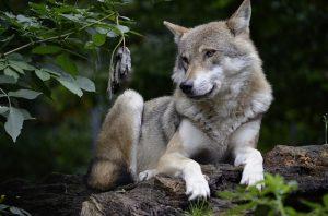 Wolf | Pixabay Image