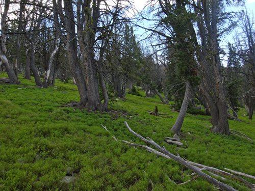 Lush Green Madison Range Forests