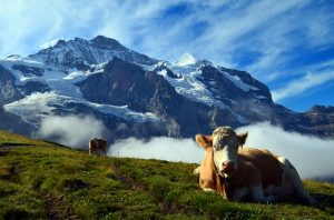 Switzerland cow | Pixabay Image