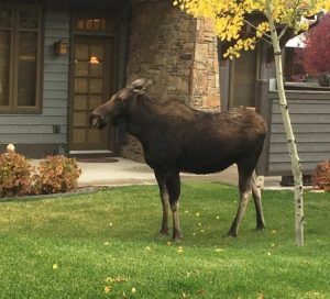 Moose | File Library Image