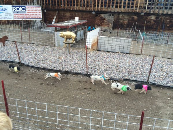 Pig Racing at Bear Creek Saloon and Steakhouse | Photo: D. Lennon