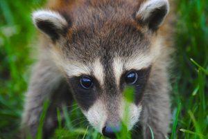 Raccoon | Pixabay Image
