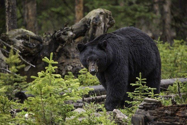 Black Bear | Pixabay Image