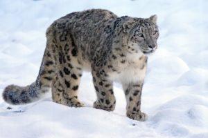 Snow Leopard | Pixabay Image