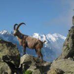 Ibex In Chamonix, France   Pixabay Image