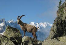 Ibex In Chamonix, France | Pixabay Image